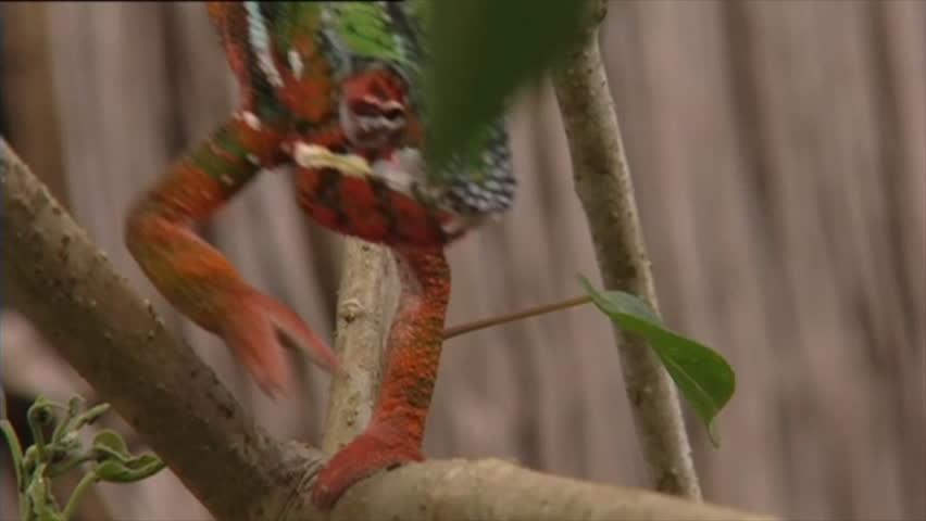 multi-coloured chameleon walking & eating - HD stock video clip