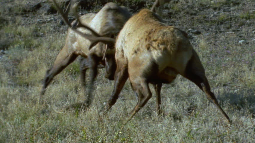Header of American Elk