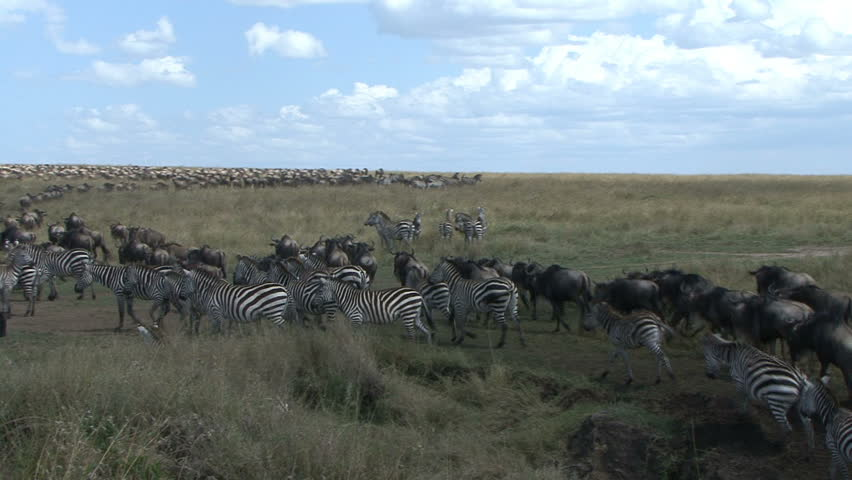 Wildebeest and zebra move into a large herd during the migration in the Masai Mara - Kenya, Africa.   - HD stock footage clip