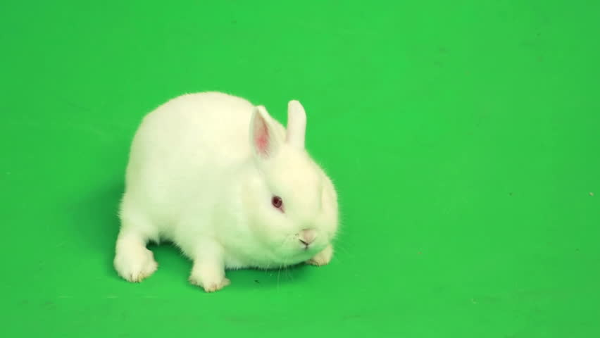 Fluffy white rabbit sniffing around  on green screen | Shutterstock HD Video #3548021