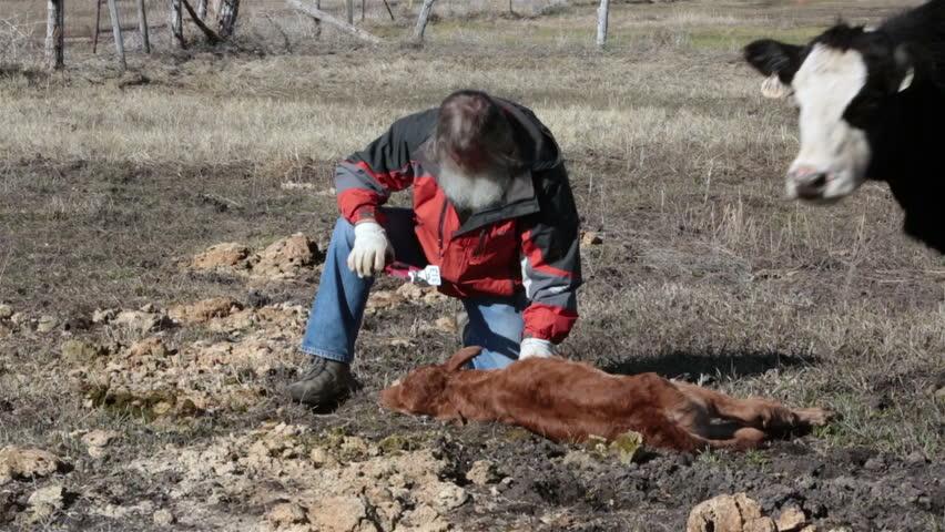 Farmer inserts ear tag in newborn calf for identification.