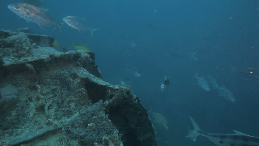 shoal of Jacks hunting and feeding on the bait fish - HD stock video clip