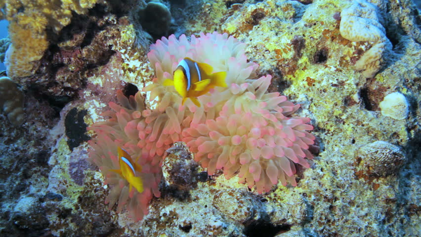 pink anemone with clown on top - HD stock footage clip
