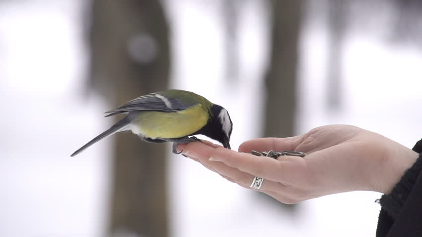 SLOW MOTION: Feeding wild birds in winter | Shutterstock HD Video #3586478
