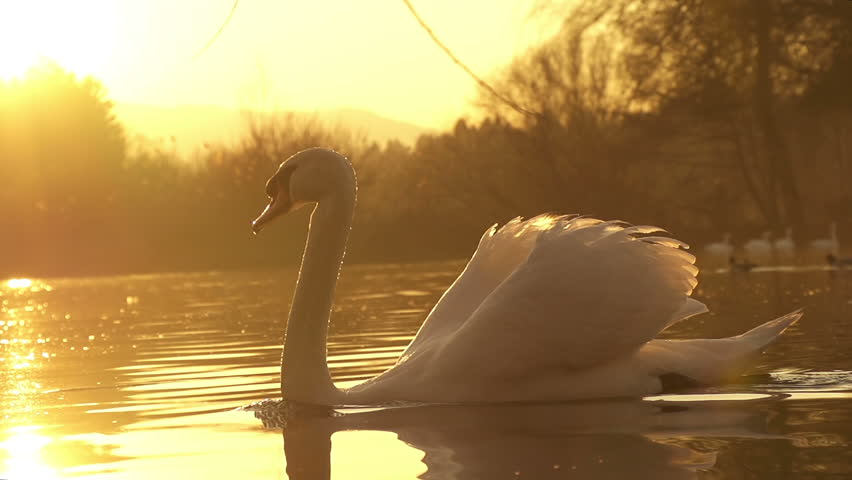 SLOW MOTION: swan swimming - HD stock video clip