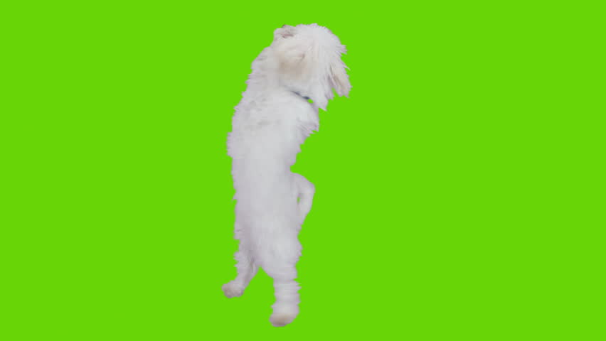 Dancing and jumping excited cute dog. Shot with red camera. Green screen ready to be keyed.