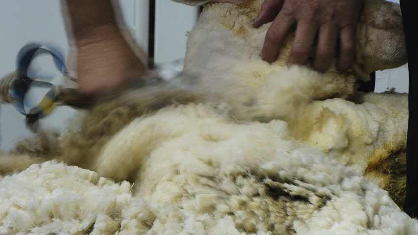 close up shot of shearing a sheep with blade shears - HD stock video clip