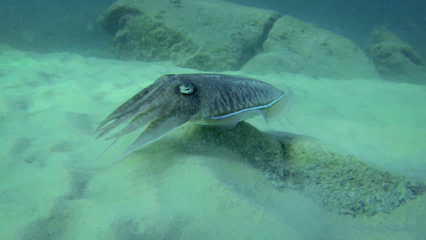 1920x1080 FullHD video - Wild cuttlefish hiding and running in the clean blue water