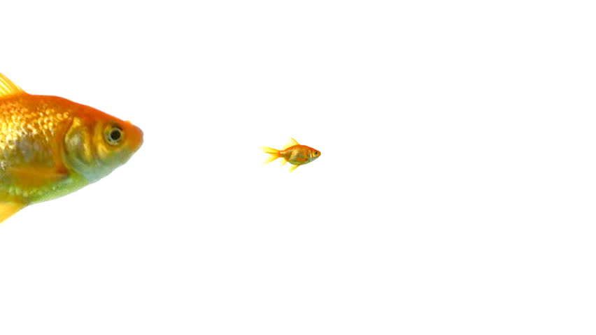 Closeup of goldfish | Shutterstock HD Video #3668396