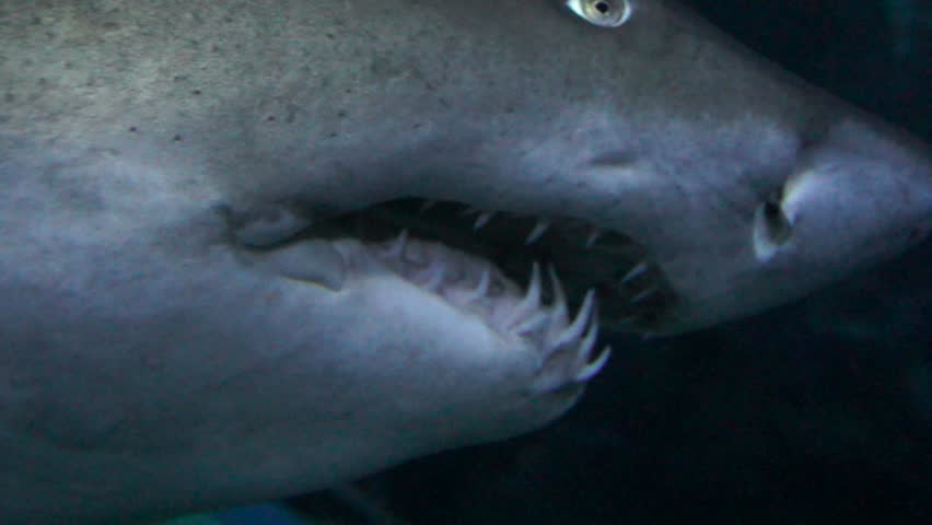 Ragged-tooth Shark close up while swimming past.