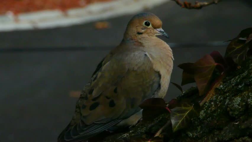 Male Mourning Dove - HD stock footage clip
