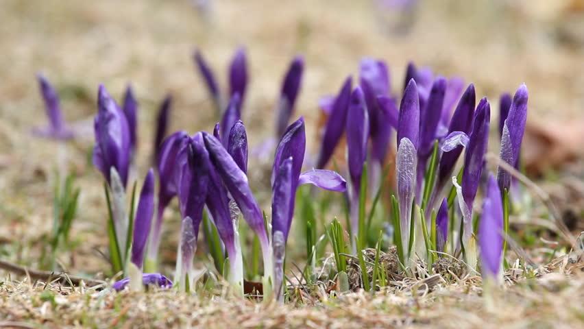 Group of crocus buds and fresh grass on spring plain   Shutterstock HD Video #3697322