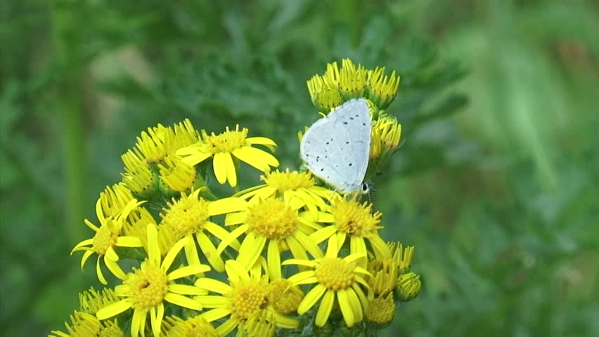 Holly blue butterfly ( Celastrina argiolus ) on Ragwort ( Jacobaea vulgaris ) + flies off - HD stock video clip
