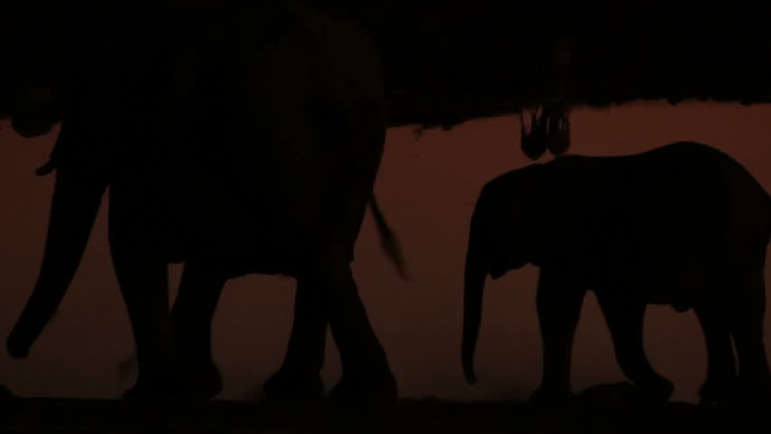 Elephant young in the evening, silhouettes | Shutterstock HD Video #3718832
