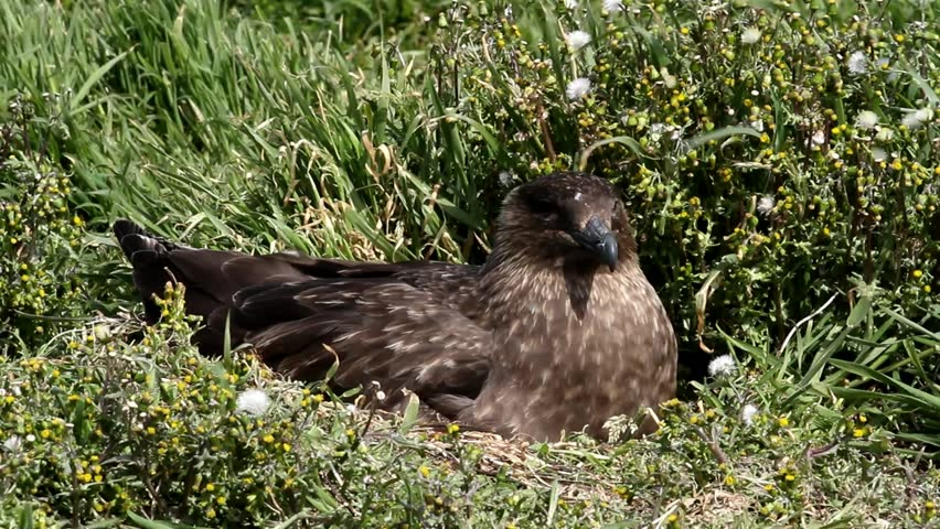 Brown Skua nesting, Falkland Island