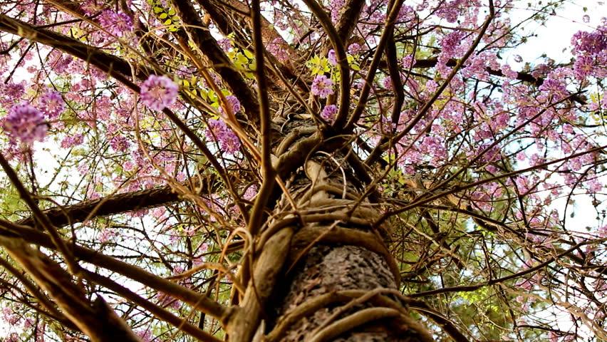 Beautiful Wisteria Blossom Vines Wrap Around Pine Trees
