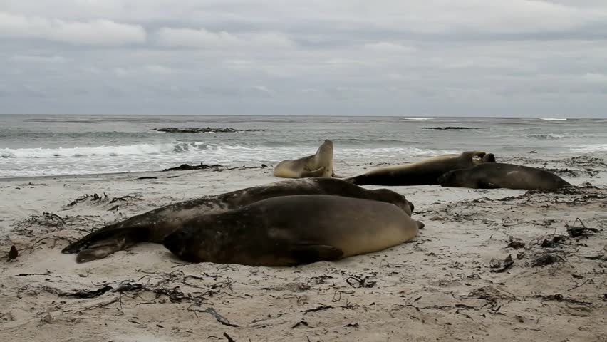 Southern Elephant seal sleeping on the beach