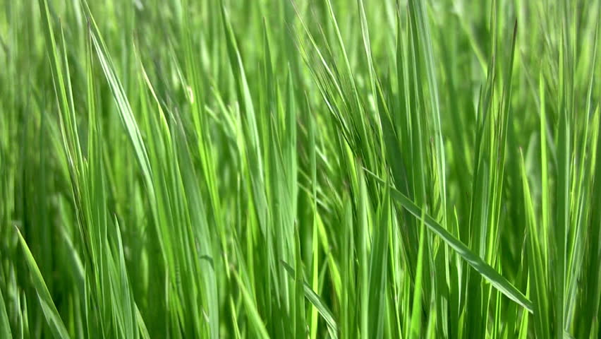 Juicy green grass sways in the wind. Close-up - HD stock footage clip