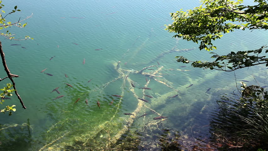 shot of a shoal of fishes swimming in the Plitvice lake - HD stock video clip