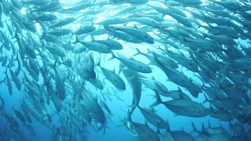A school of Bigeye jacks (Caranx sexfasciatus) is parted by a bottlenose dolphin (Tursiops truncates) in deep water just off Cocos Island, Costa Rica.   Shutterstock HD Video #3767405