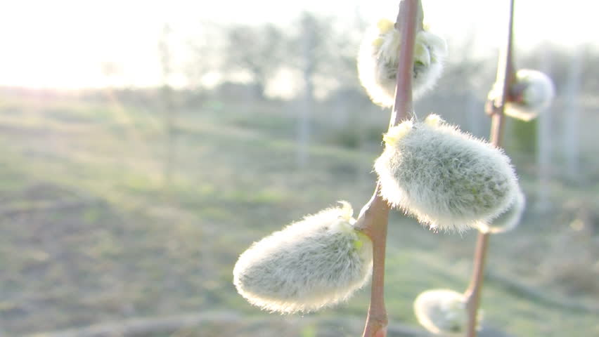 Swinging pussywillows on blurred background, macro, HD, birds singing - HD stock video clip