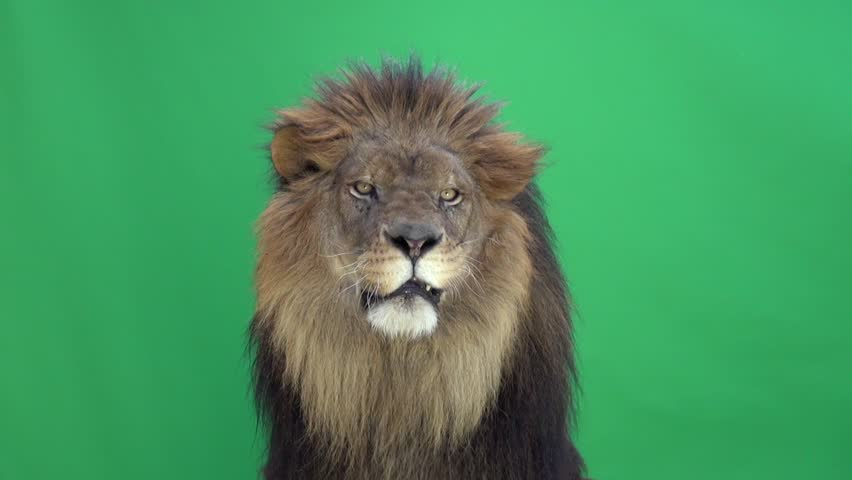 Lion looking around and at the camera in front of a green key | Shutterstock HD Video #3811658