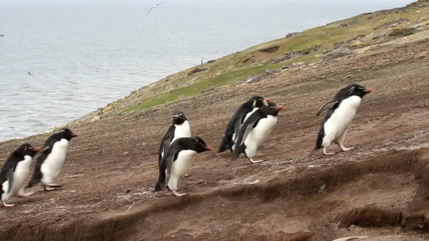 Rockhopper penguins coming home - HD stock video clip
