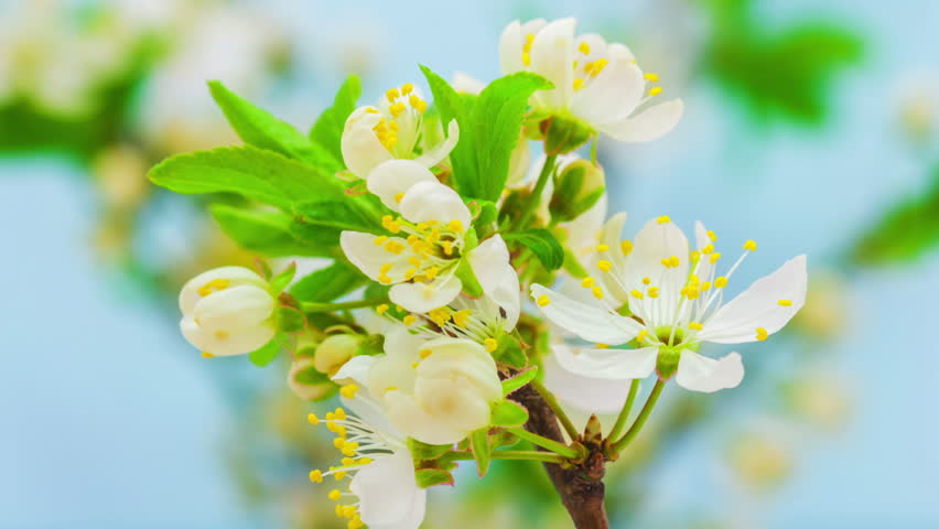 Time lapse video of a wild plum flower growing on a blue background/Wild plum flower blossoming