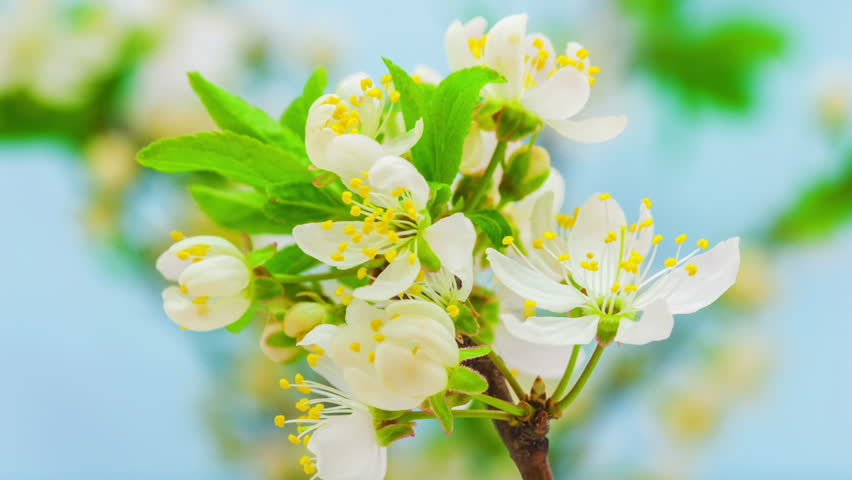 Time lapse video of a wild plum flower growing on a blue background/Wild plum flower blossoming timelapse