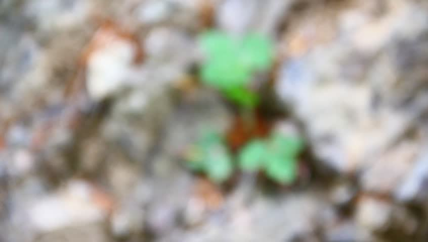 Wild strawberry in the dried, rocky surface. Drought concept, farming, environmentalism. | Shutterstock HD Video #3848162