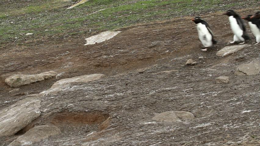 Rockhopper penguins walking downhill - HD stock video clip