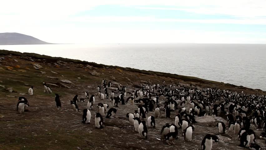 Rockhopper penguins colony - HD stock video clip