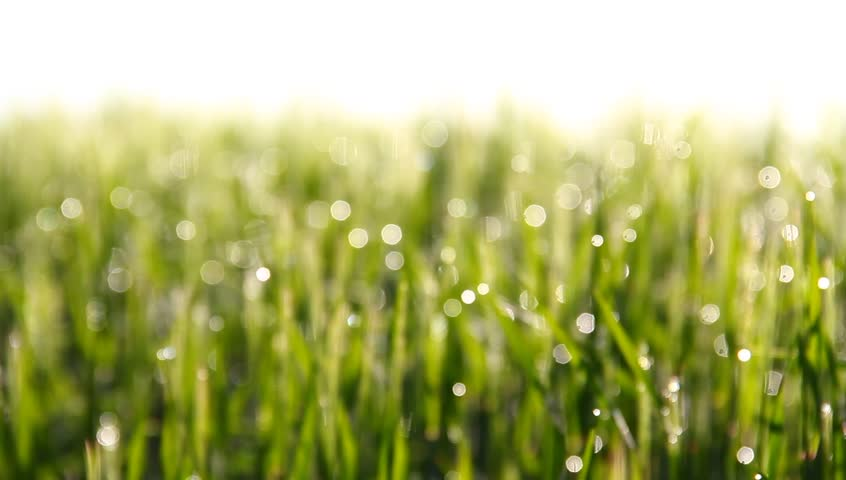 Dew in the morning barley in mild wind. | Shutterstock HD Video #3911459