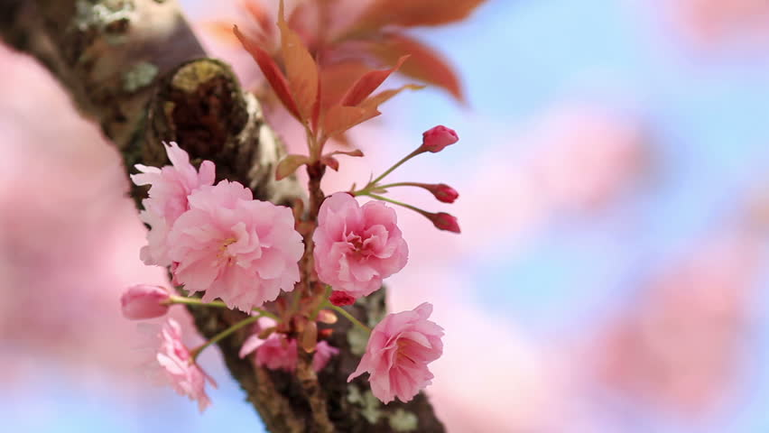 Cherry blossom with blue sky in background.