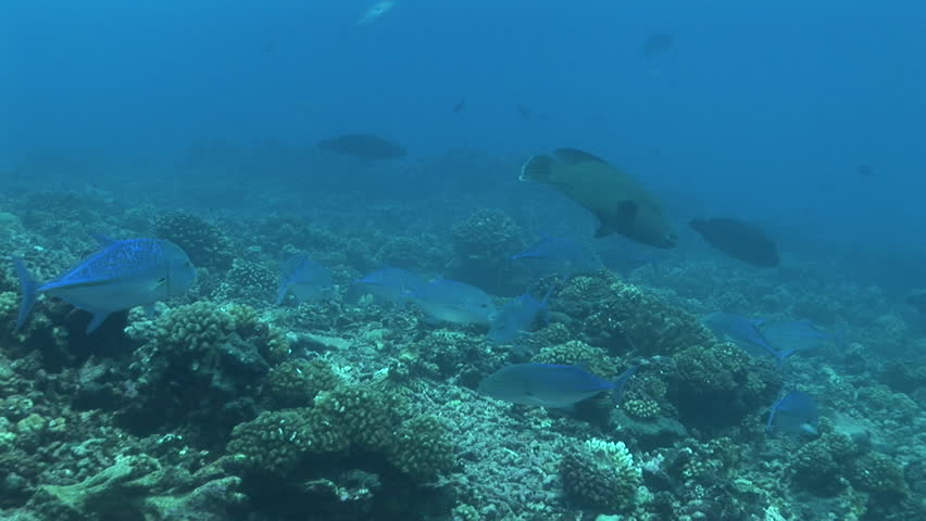 Blue fin jack fish hunting stock footage video 3951431 for Blue fin fish