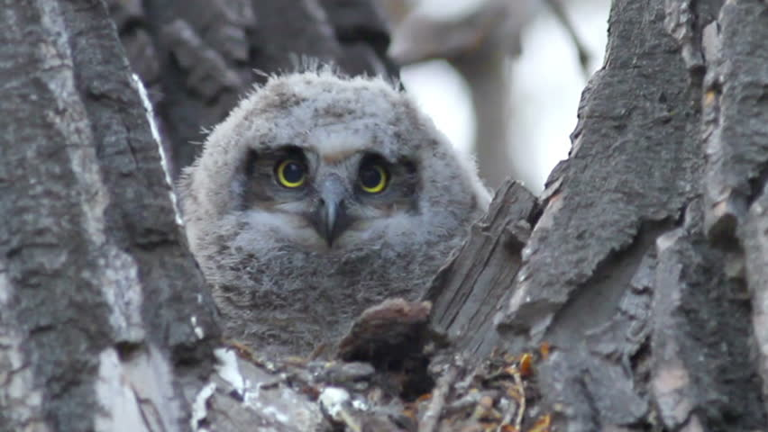 hd great horned owl - photo #14