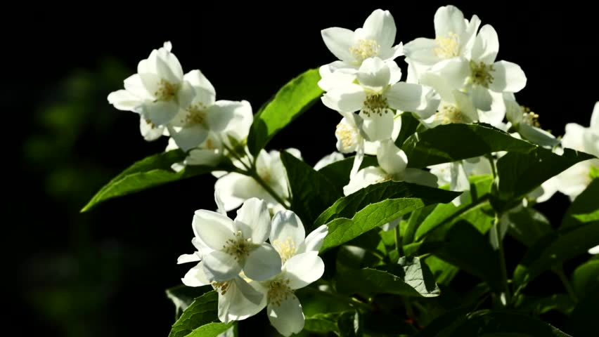 branch of fragrant jasmine sways in the wind - HD stock video clip