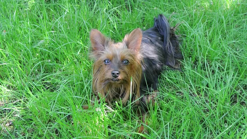 Yorkshire Terrier is lying on a green lawn - HD stock footage clip