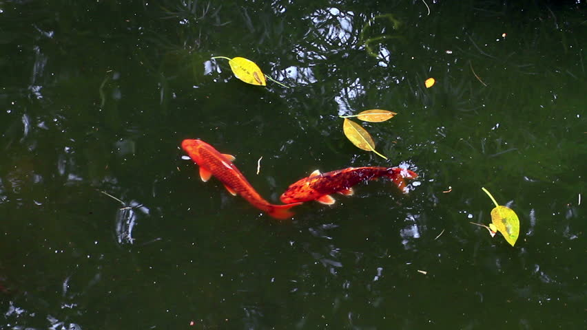 Fish in pond stock footage video 3980989 shutterstock for Koi fish to pond ratio