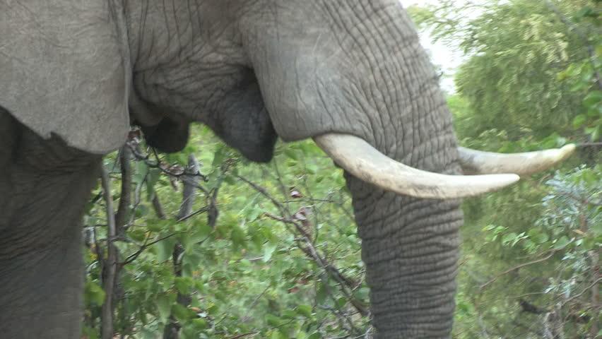 Elephant Eating Grass Elephant Eat Mopani Tree hd