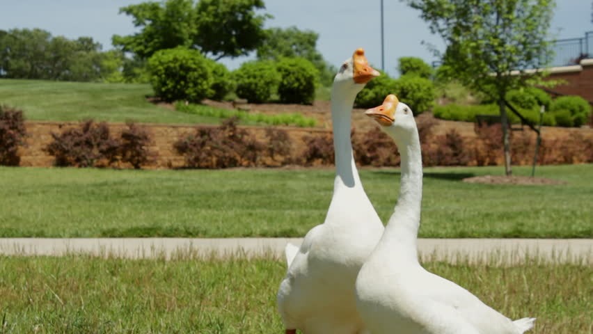 Two blue eyed white Chinese geese share a college campus with Canadian geese - HD stock video clip