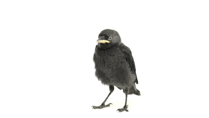 Western Jackdaw standing on white background