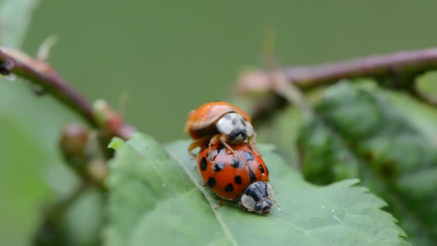 Ladybugs mating on leaves in the garden - HD stock footage clip