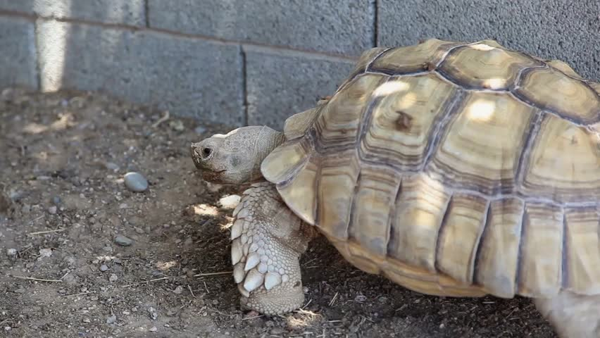 Header of African Spurred Tortoise