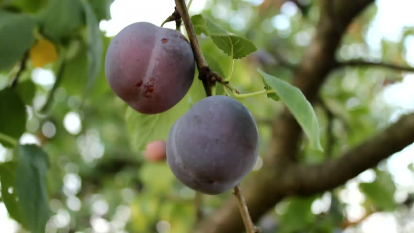Delicious plums on tree branch orchard autumn healthy fruit diet stock footage video 8464309 - Spring trimming orchard trees healthy ...