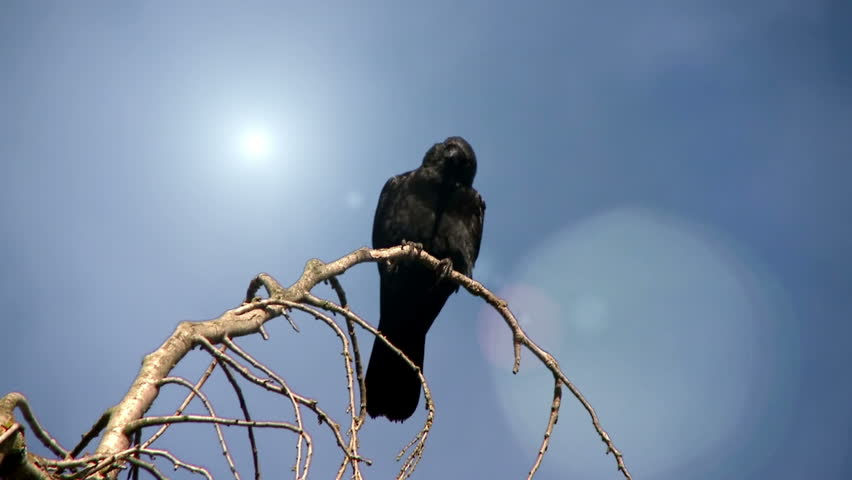 Crows With Lens Flare - HD stock video clip