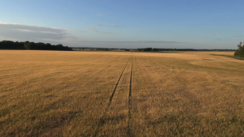 Farmland with Rye, Secale cereale ready to be harvested, Arieal view - HD stock video clip
