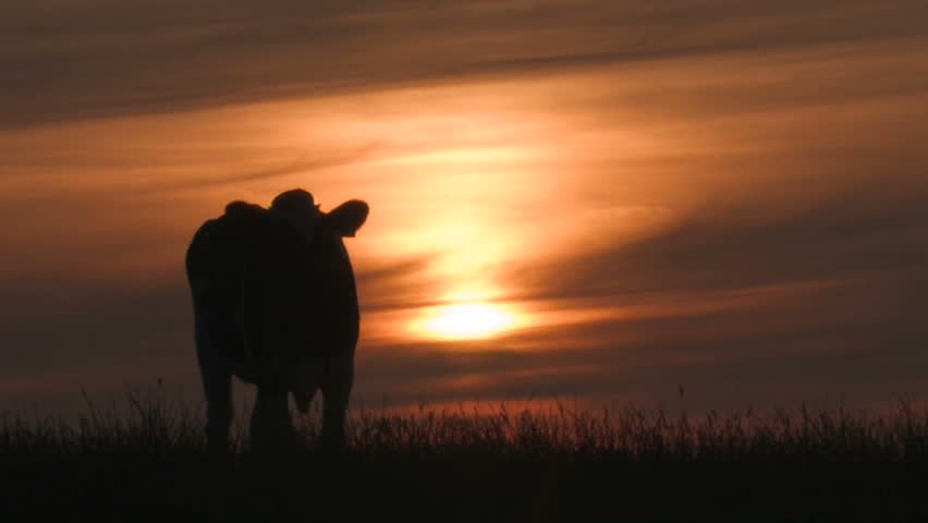Cow eating grass at sunset - HD stock video clip