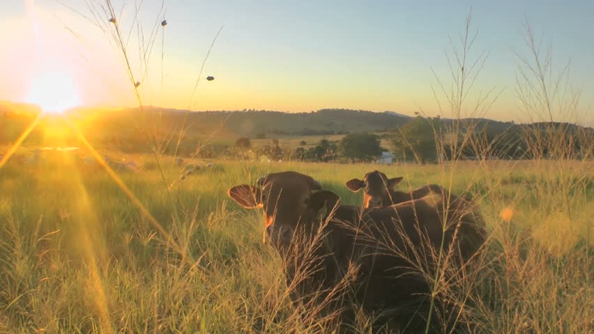 Australia - cows in sunset - HD stock footage clip