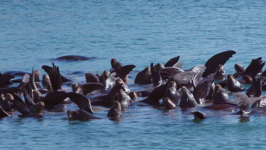 Stellar Sea Lions Sunning and Drifting in Group